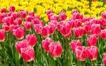 отдых в Крыму: Парад тюльпанов