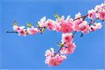 отдых в Крыму: сакура в Никитском ботаническом саду