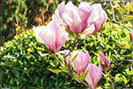отдых в Крыму: магнолия суланжа в Никитском ботаническом саду