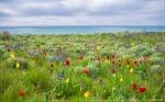 отдых в Крыму: Тюльпаны на берегу Черного моря