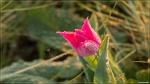 отдых в Крыму: Утренний тюльпан