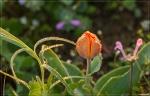 отдых в Крыму: Дикий тюльпан