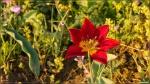 отдых в Крыму: Тюльпан Шренка