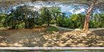 отдых в Крыму: Тис ягодный в Воронцовском парке