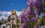 отдых в Крыму: Цвет глицинии