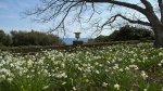 отдых в Крыму: Нарциссы