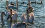 отдых в Крыму: лебеди в Евпатории