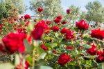 отдых в Крыму: Розы на пляже. Орловка.