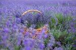 отдых в Крыму: Лавандовое поле в Крыму