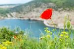 отдых в Крыму: Цветущие маки. Балаклава.
