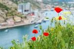 отдых в Крыму: Цветущие маки на склонах Балаклавы