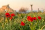 отдых в Крыму: Цветущие маки в Херсонесе.