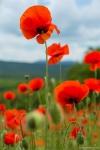 отдых в Крыму: Маки цветут...