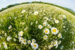 отдых в Крыму: Байдарская долина. Ромашки цветут!