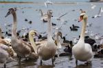 отдых в Крыму: Прилетели! Лебеди в Севастополе!