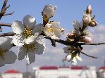 отдых в Крыму: весна: цветет миндаль