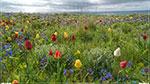 отдых в Крыму: дикий тюльпан Шренка возле моря