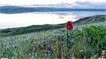 отдых в Крыму: дикий тюльпан Шренка