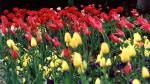 отдых в Крыму: Тюльпаны