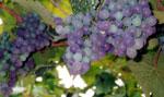 отдых в Крыму: Созревающий виноград.