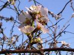 отдых в Крыму: весна: миндаль зацвел