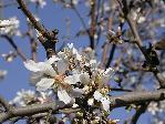 отдых в Крыму: весна: миндаль зацвел :)